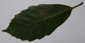 アラカシの葉・表
