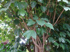 3つに分かれるツヤツヤとした葉がかわいい